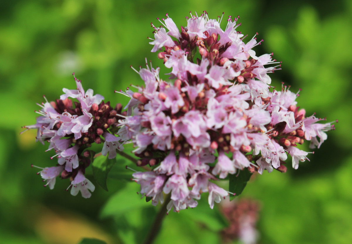 Oregano vulgare Flowers Are Purple Colored