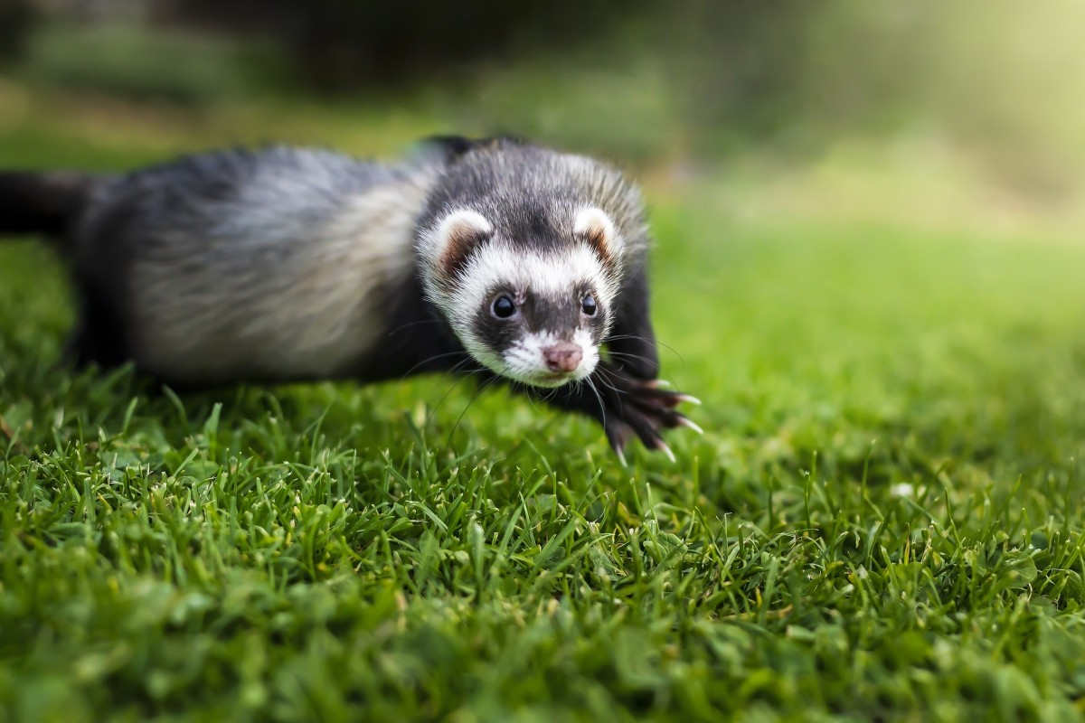 Some disturbed people actually feed live prey to ferrets.