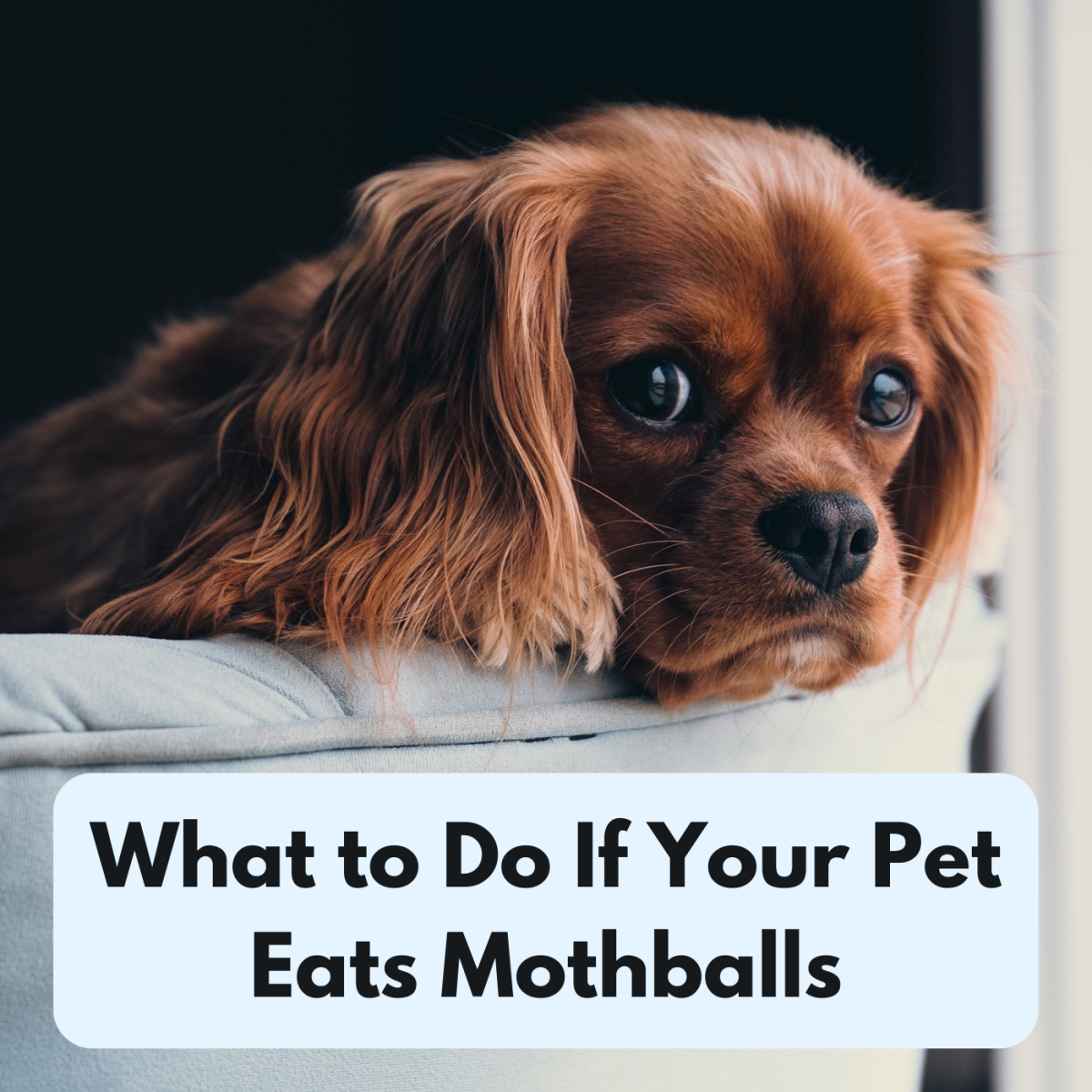 If you suspect that your pet has ingested a mothball, learn how to identify the symptoms and seek professional treatment.