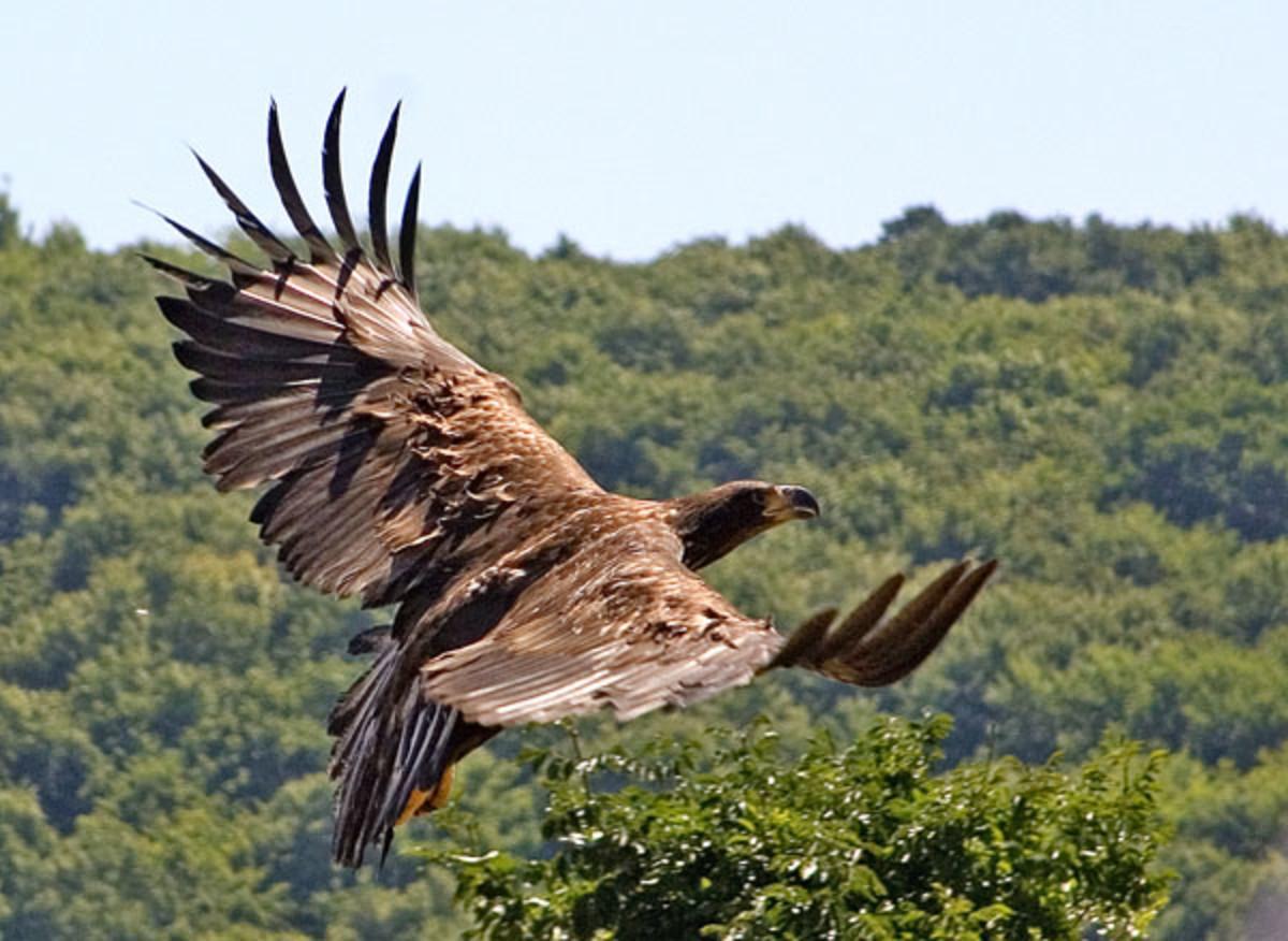White-tailed Eagle in Fruska Gora.
