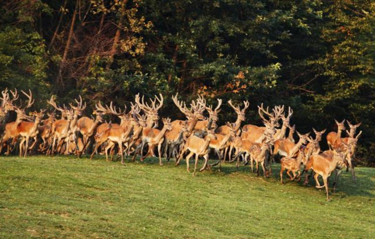 Deers in Fruska Gora