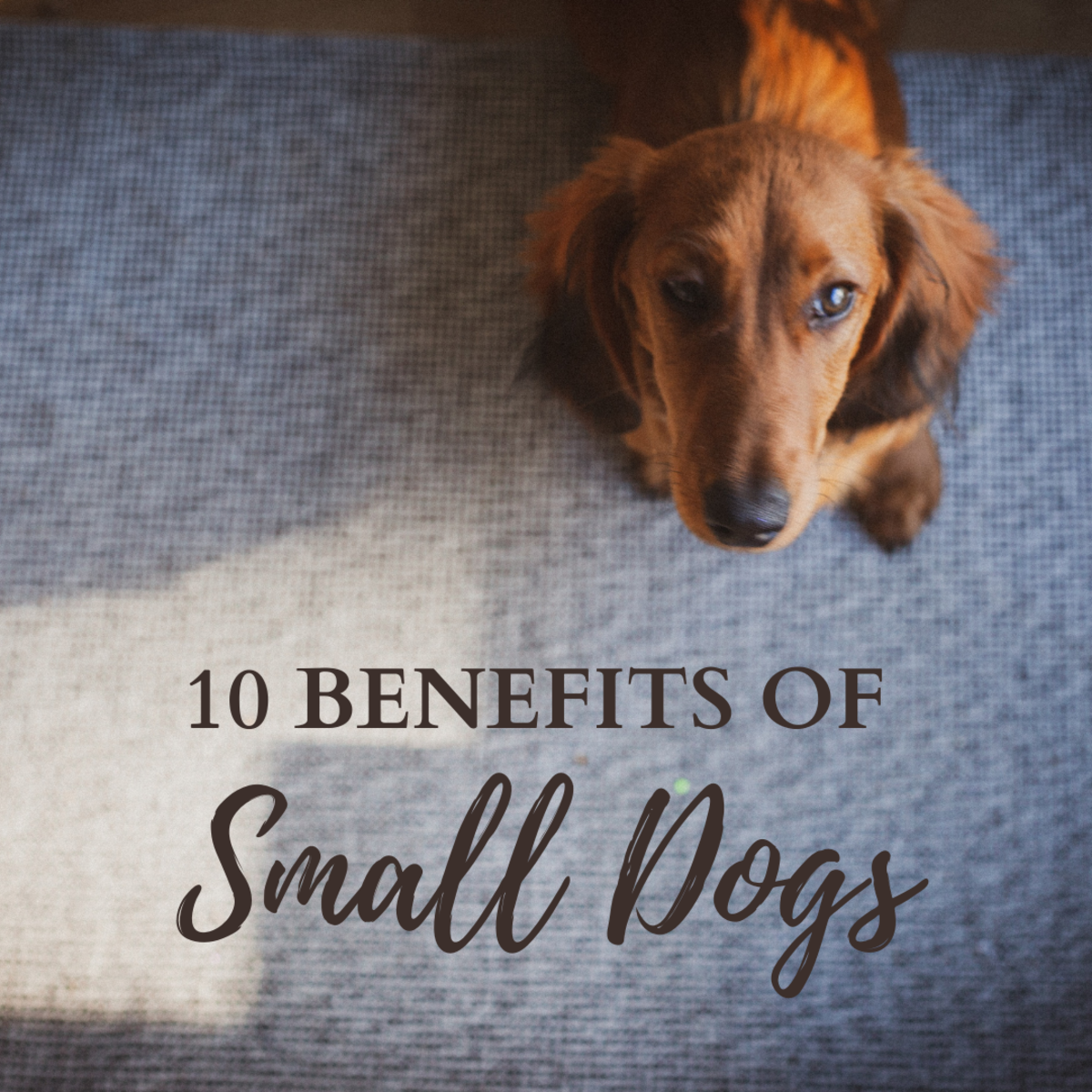The top 10 benefits of owning a small dog