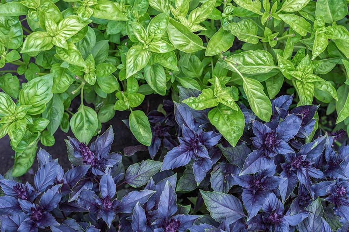 basil-production-stages-nutrition-facts-and-health-benefits