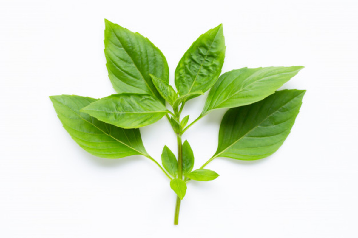Sweet basil leaves.