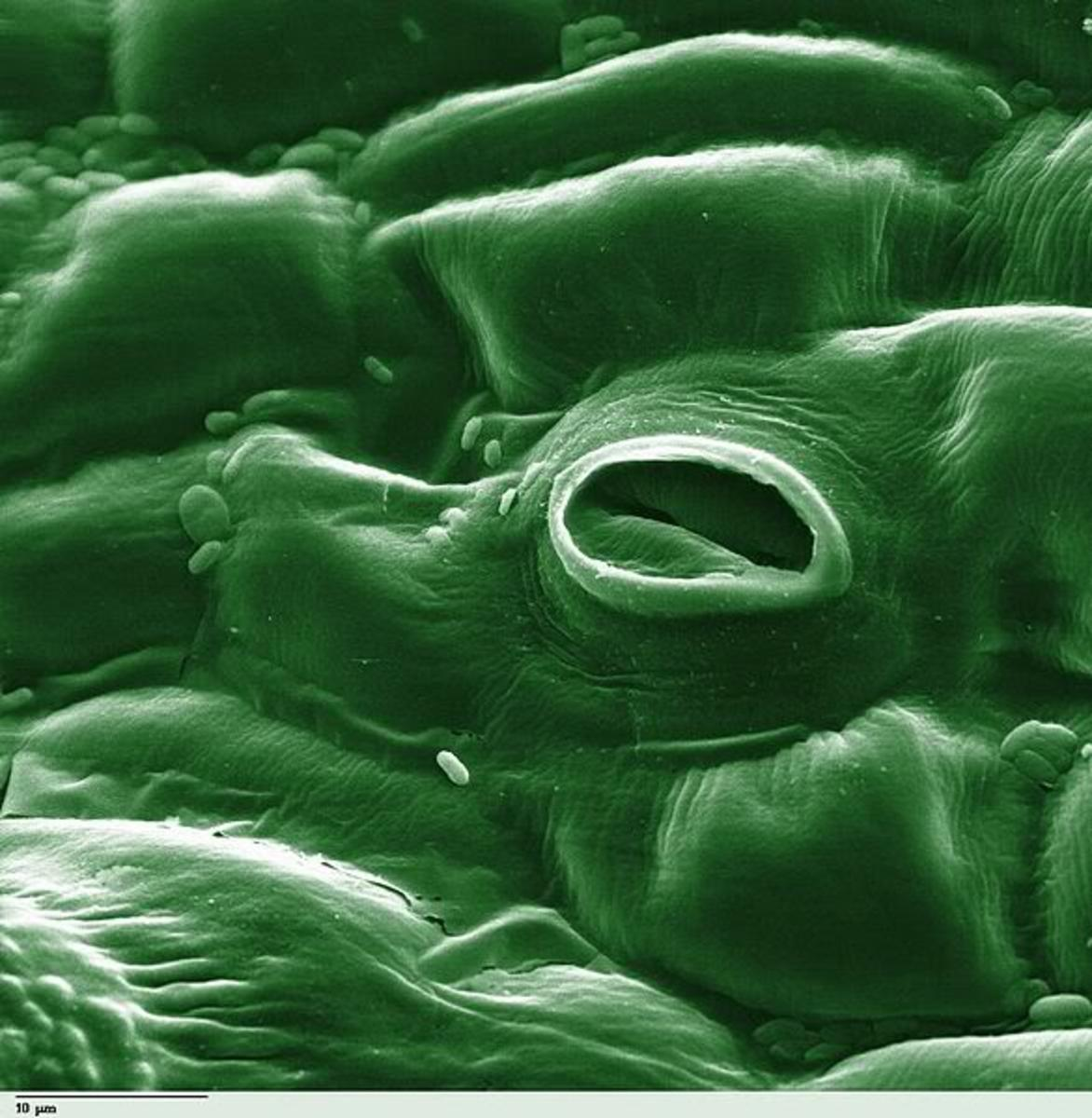 This is an image of a tomato leaf as seen through an electron microscope. The stomata is the hole you see in the leaf.