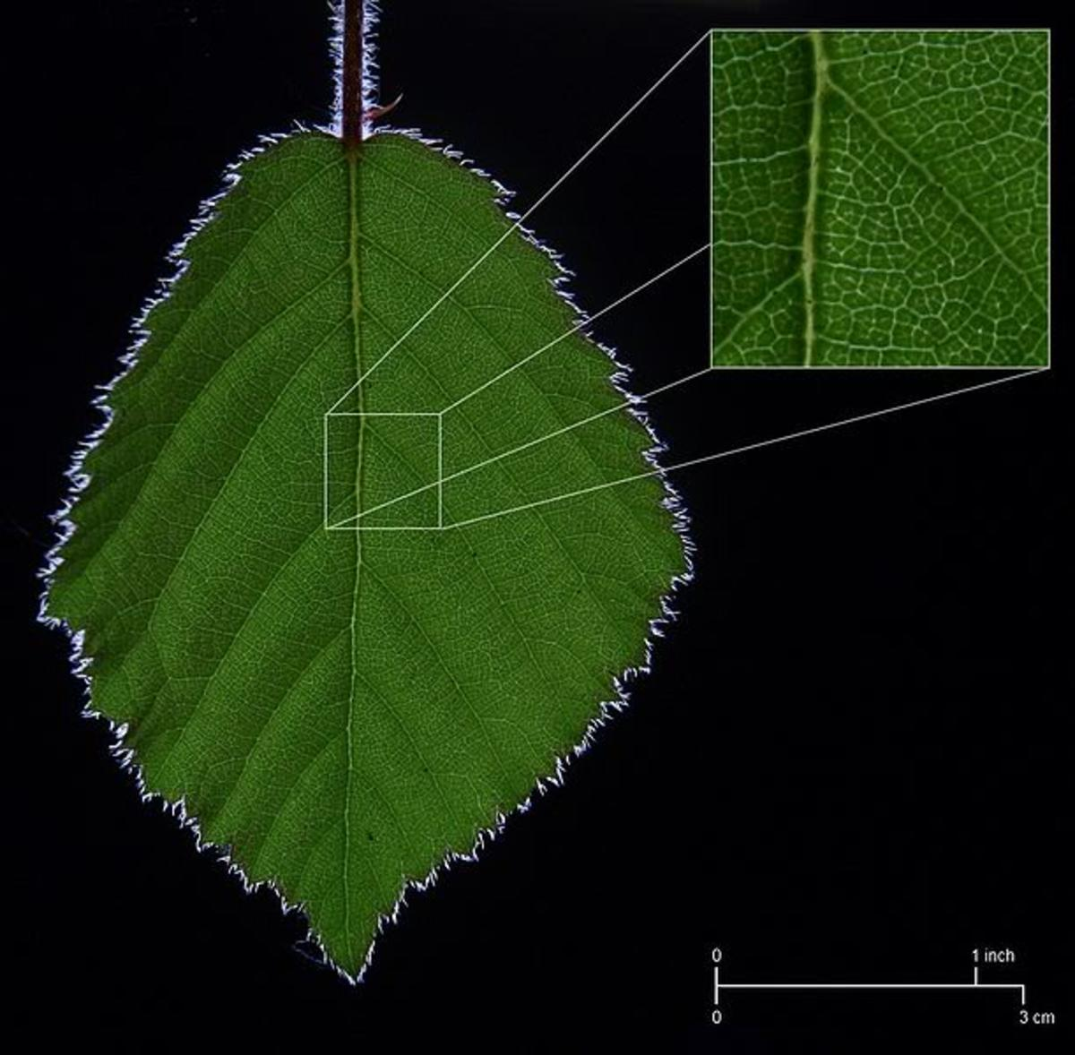 Vascular Tissue in a Leaf