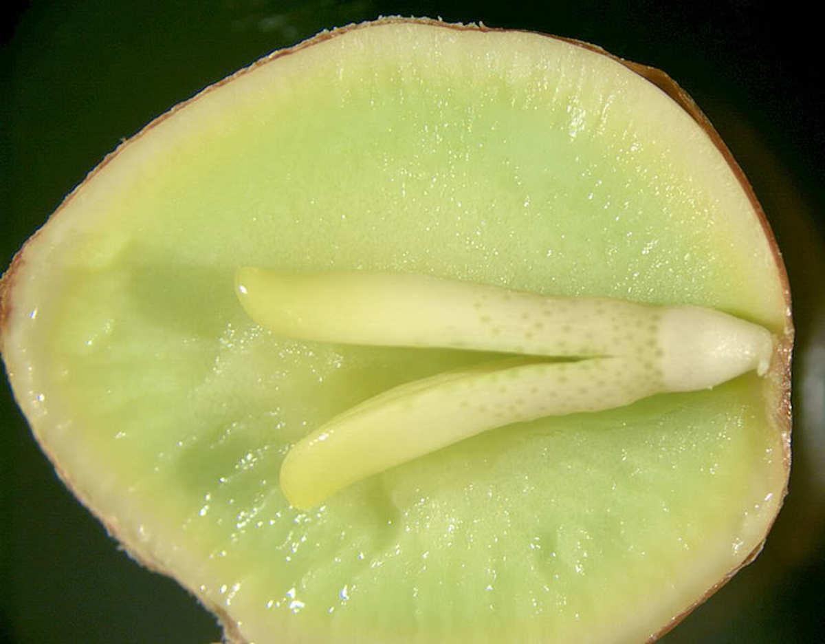 Ginkgo Seed