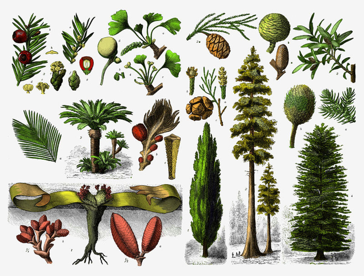 Evergreen trees are Gymnosperms