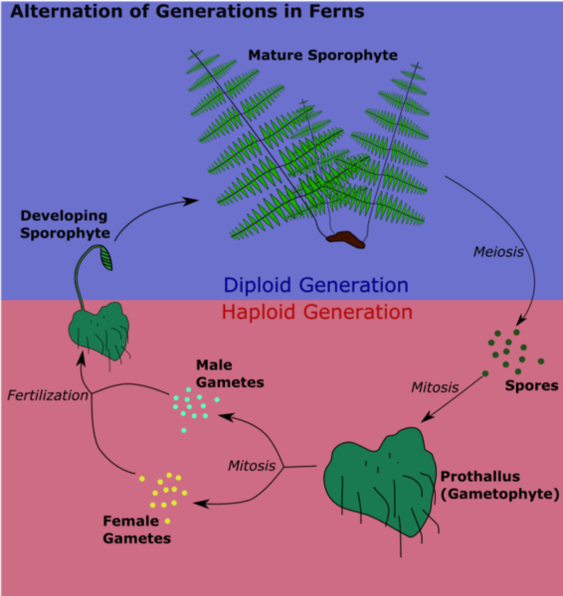 Alternation of Generations in Ferns