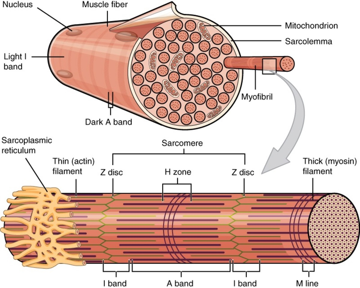 Muscles consist of fibres that contract in order to move structures.