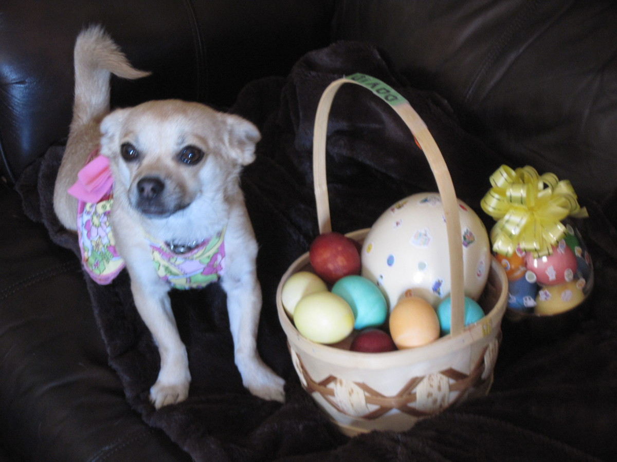 Little Chihuahua named Chika with a Basket of Easter Eggs