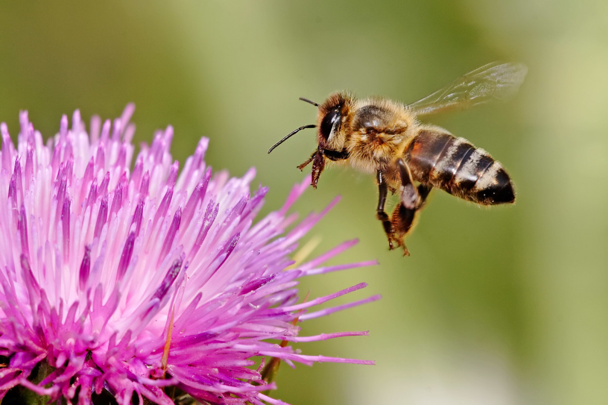 A worker bee visiting a flower