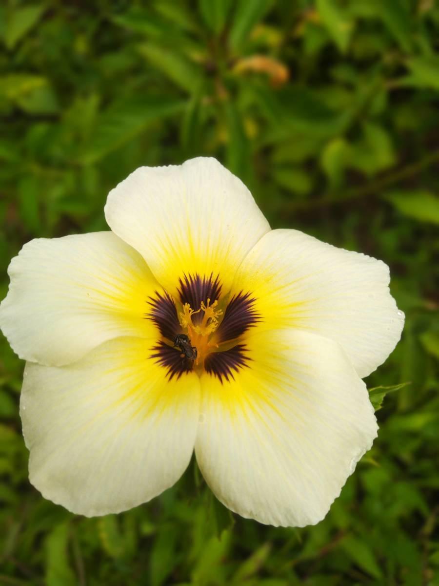 Dammer bee in a flower