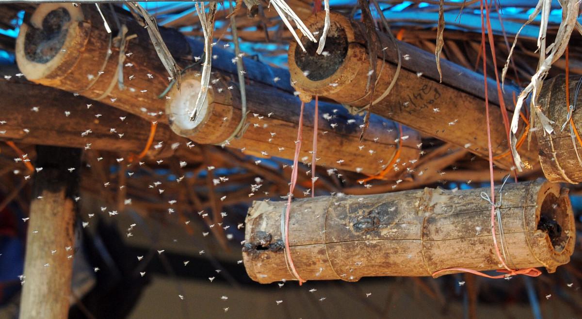 Stingless bee keeping inside bamboo hollows