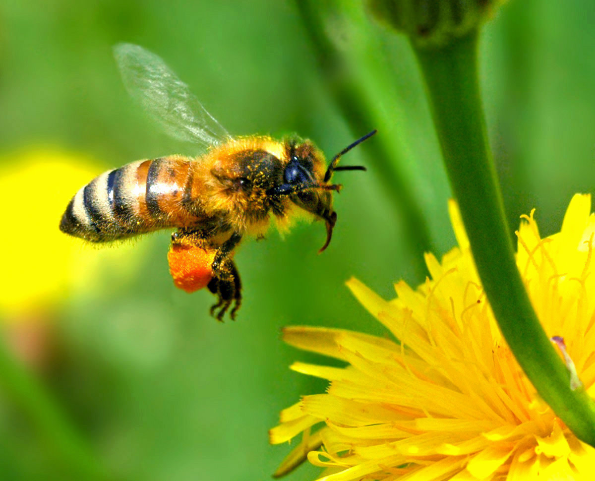 Bee with pollen on its appendages