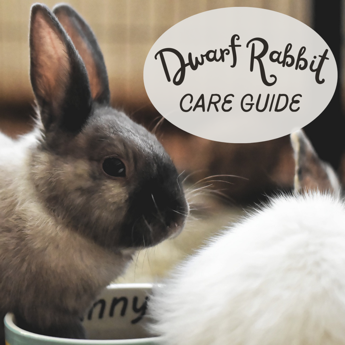 Learn everything you need to know about keeping dwarf rabbits!