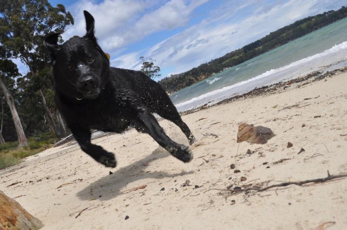 Dogs running on Beach, Bay of Fires, Tasmania