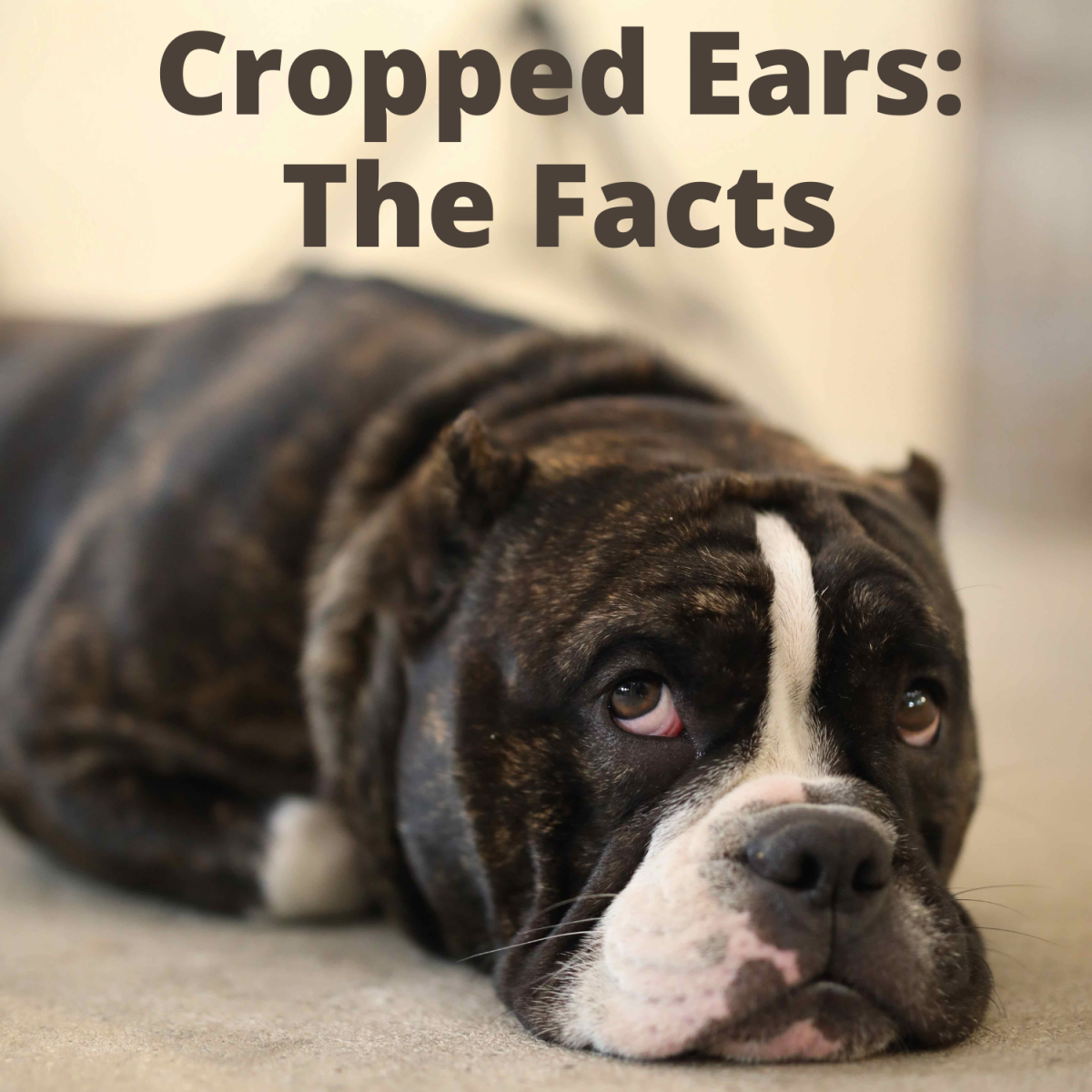 dog-ear-cropping-should-it-be-legal