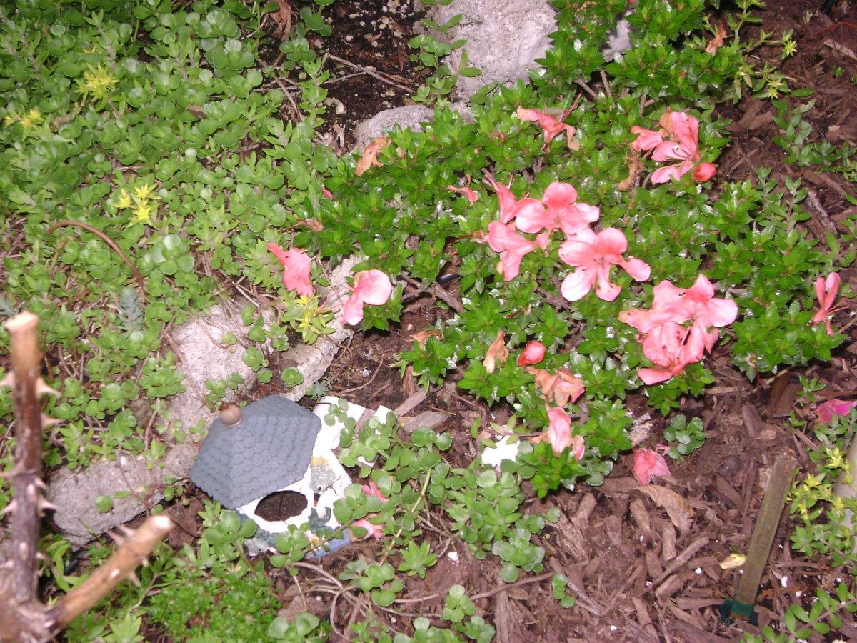 Rhododendron 'AZALEA' Klovey