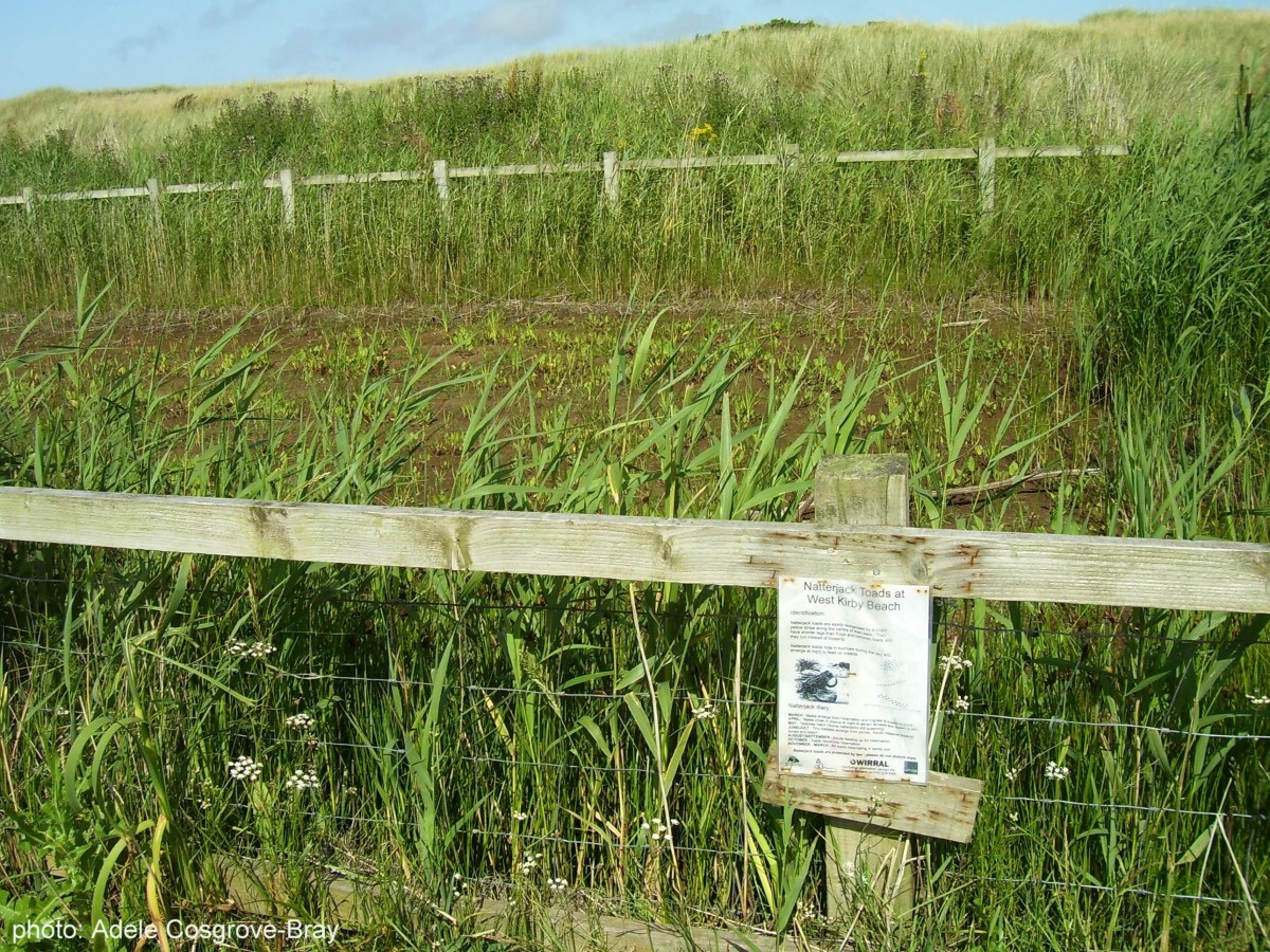One of the last places in Britain where natterjack toads still live offers a fenced-off sanctuary for them.  The toads are free to roam as they please, and while I've seen them elsewhere in the marshes, I've never once seen any in this enclosure.