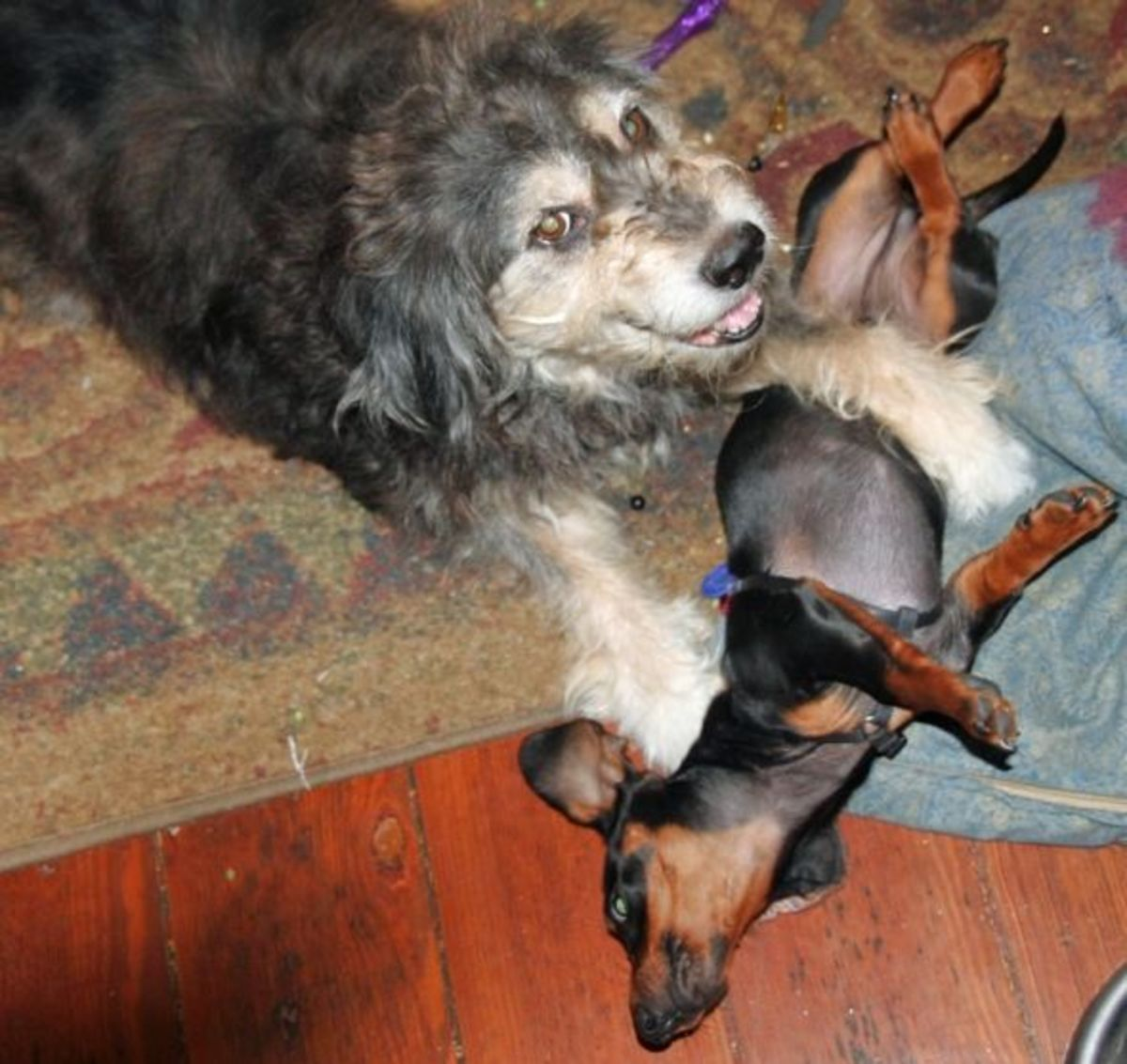 diagnosing-and-caring-for-a-pet-with-doggie-alzheimers
