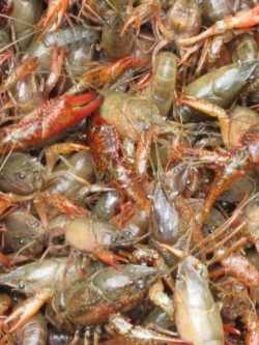 How to Cook Crawfish-Outdoor Cooking on the Bayou a Weekend Get Together