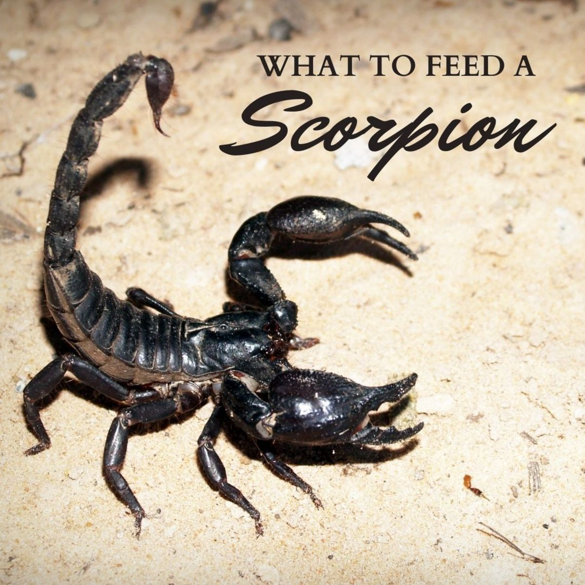What to Feed Your Pet Scorpion