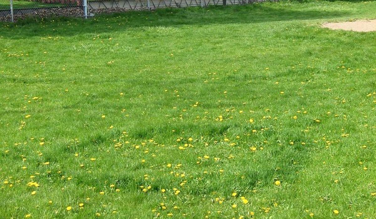 Fairy Rings - the darker, longer grass