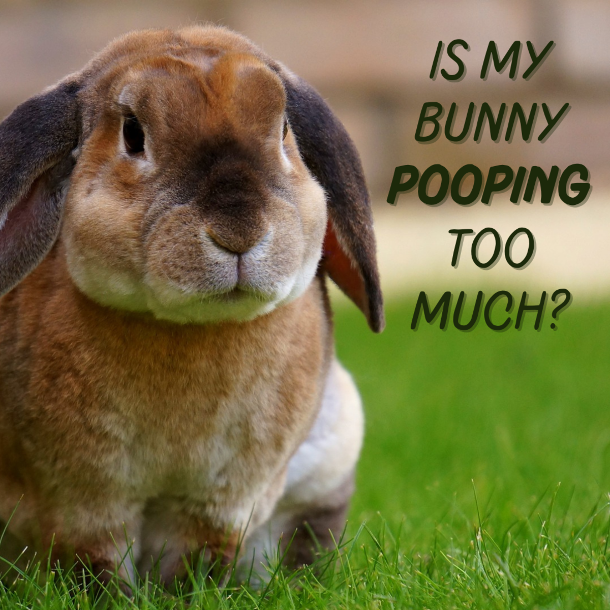 Bunnies poop a lot, but is there such a thing as too much poop? Find out what to watch out for in your bunny's toilet habits.