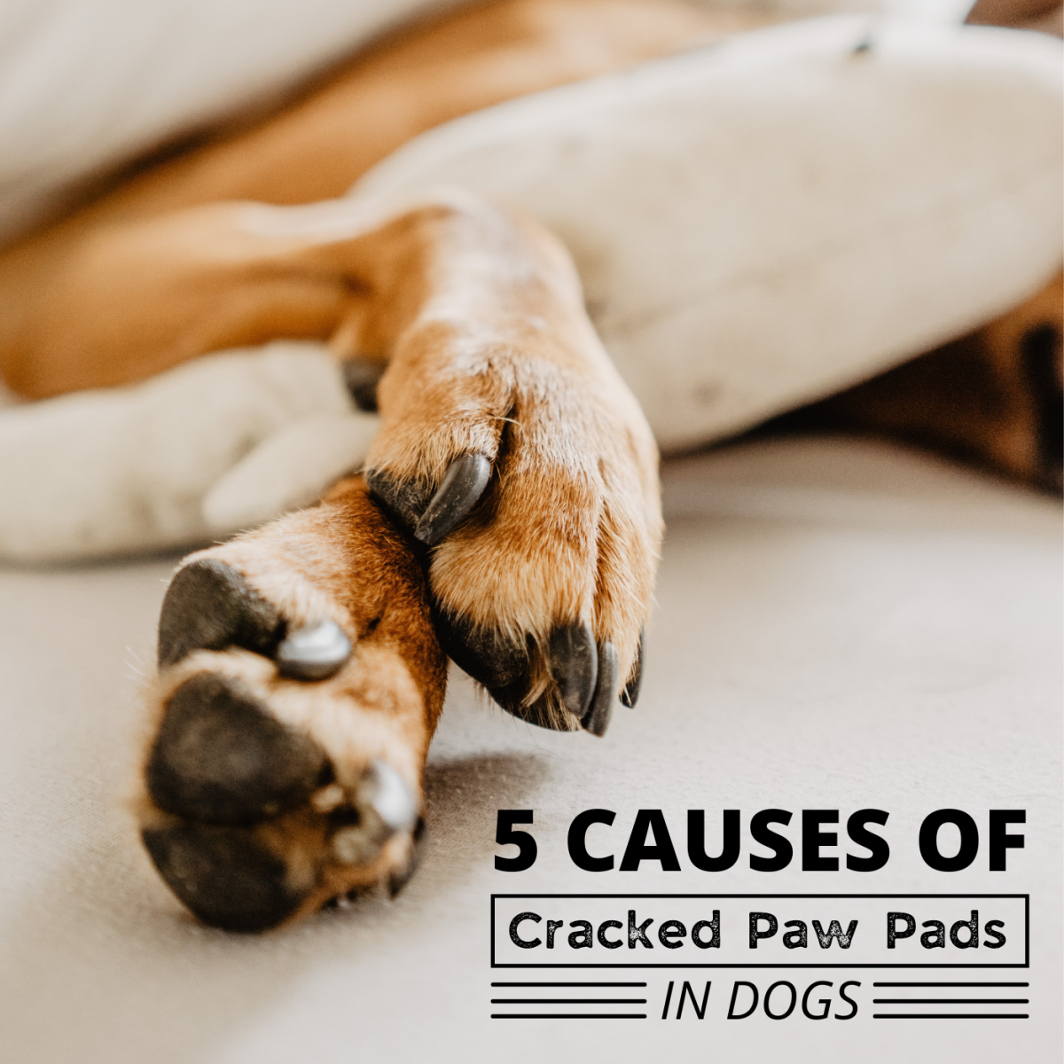 If your dog's paw pads are cracked, work with your vet to identify the underlying cause of the problem before taking action.