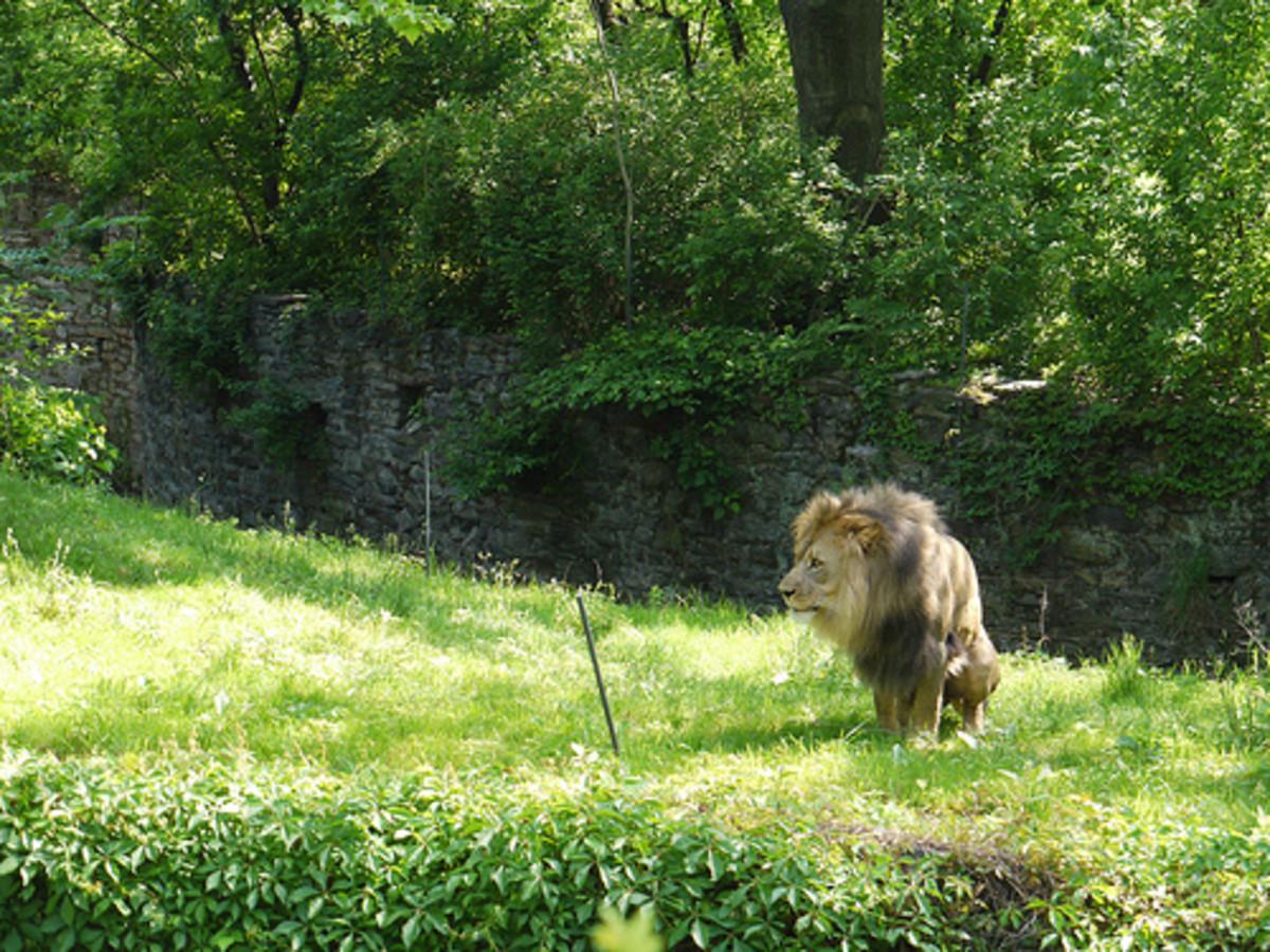 lion-dung-as-a-cat-repellent