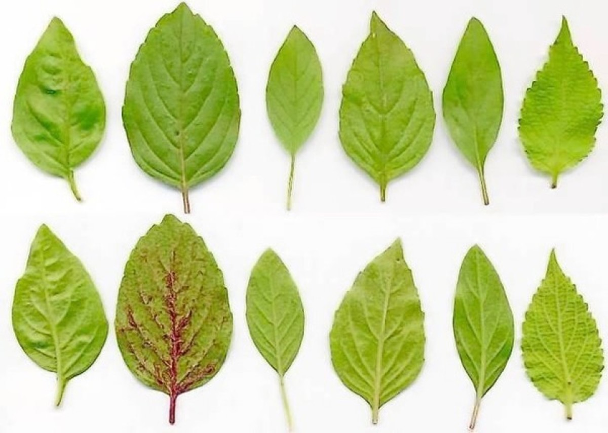 Leaves of several different basil varieties: From left to right Mediterranean (sweet) basil, African Blue, lemon basil (O. americanum), spice basil, Thai basil, and tree basil (O. gratissimum), upper and lower sides.