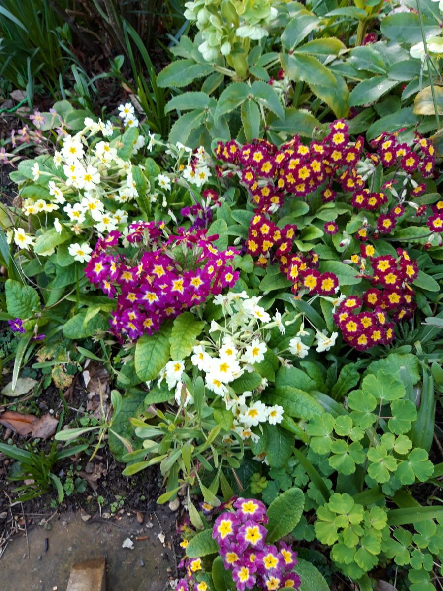 Primula (Polyanthus)