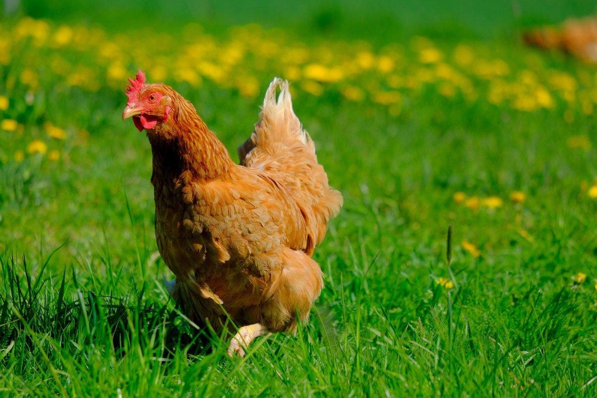Backyard Chicken Farming: Beginner's Guide to Fresh Eggs