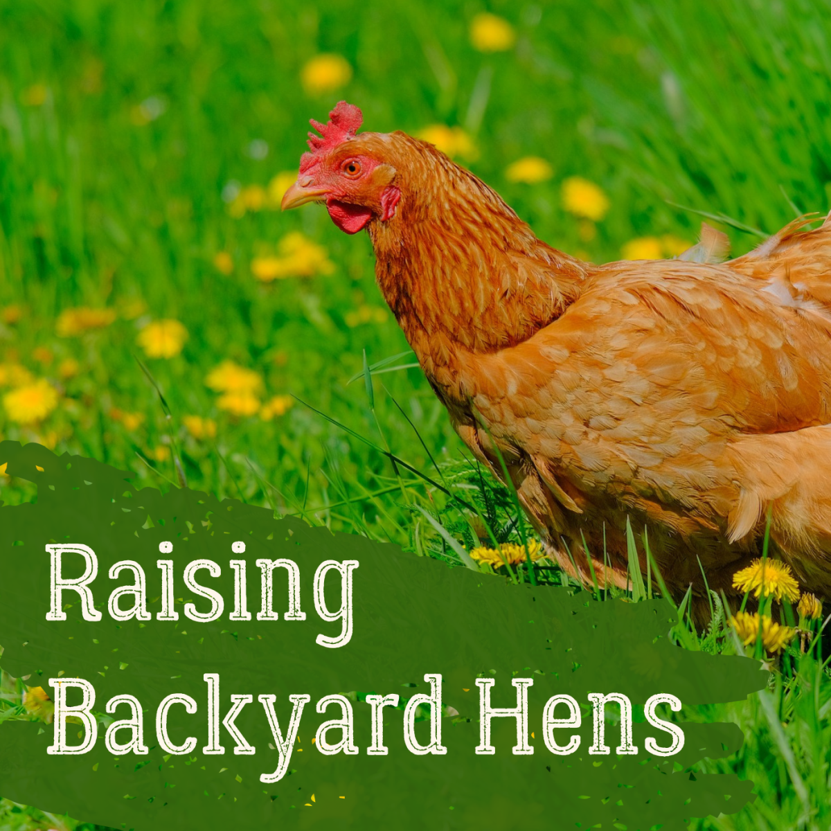 Get some tips for raising happy, healthy hens at home!