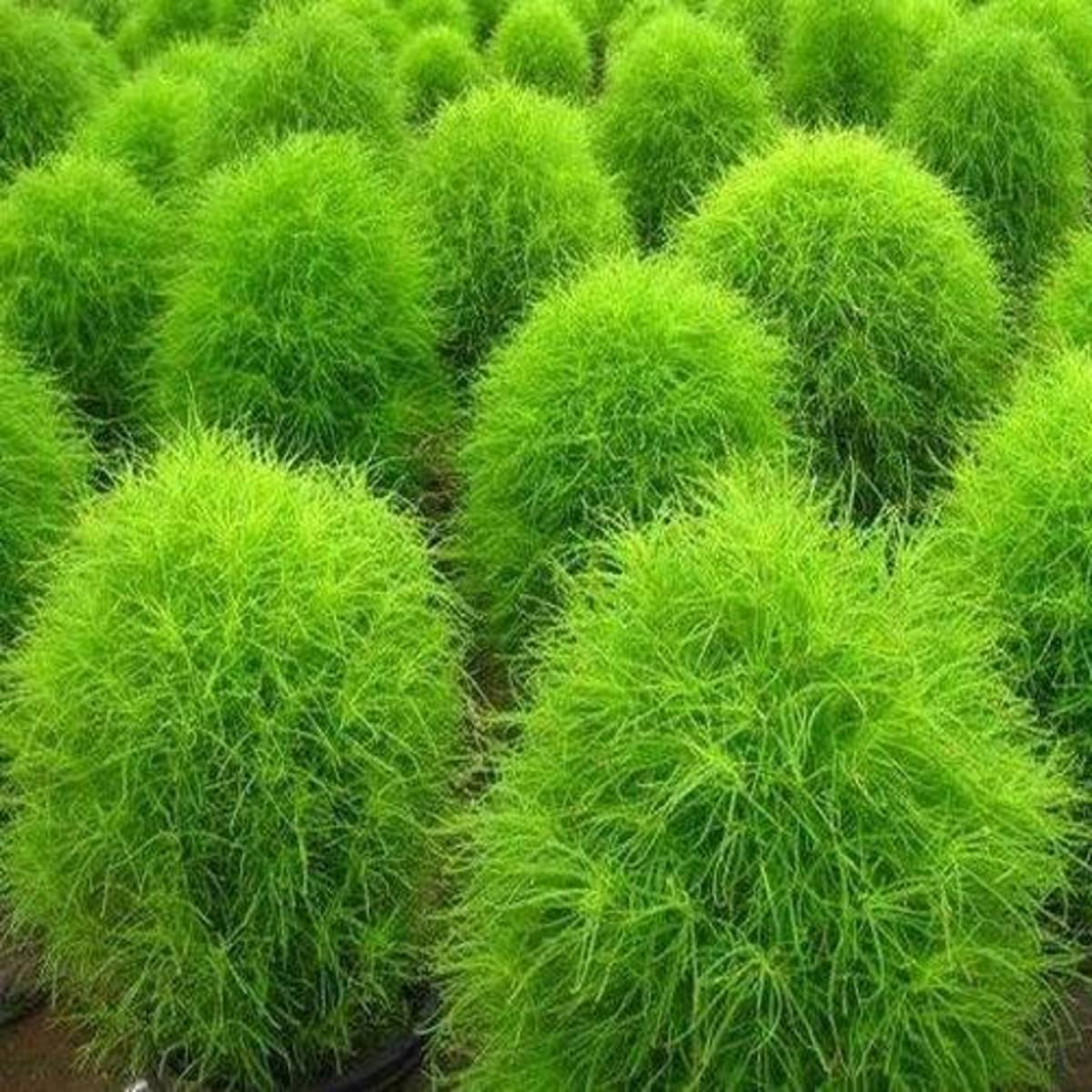 This gives a nice green color to the whole garden.
