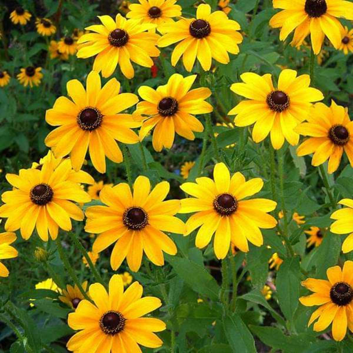 As the name suggests the size of these flowers is small compared to the normal Sunflower.  This plant grows 2 to 3 feet tall and a minimum of 30 to 40 flowers bloom at a time on these plants.