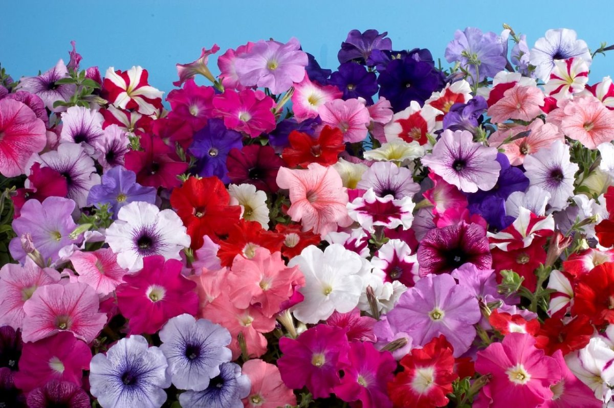 Petunia Miltiflora Is to be grown in summers where as  Petunia Gandiflora is for winters. The winter plant has many colors but the summer variant is available in 5 to 6 colors.