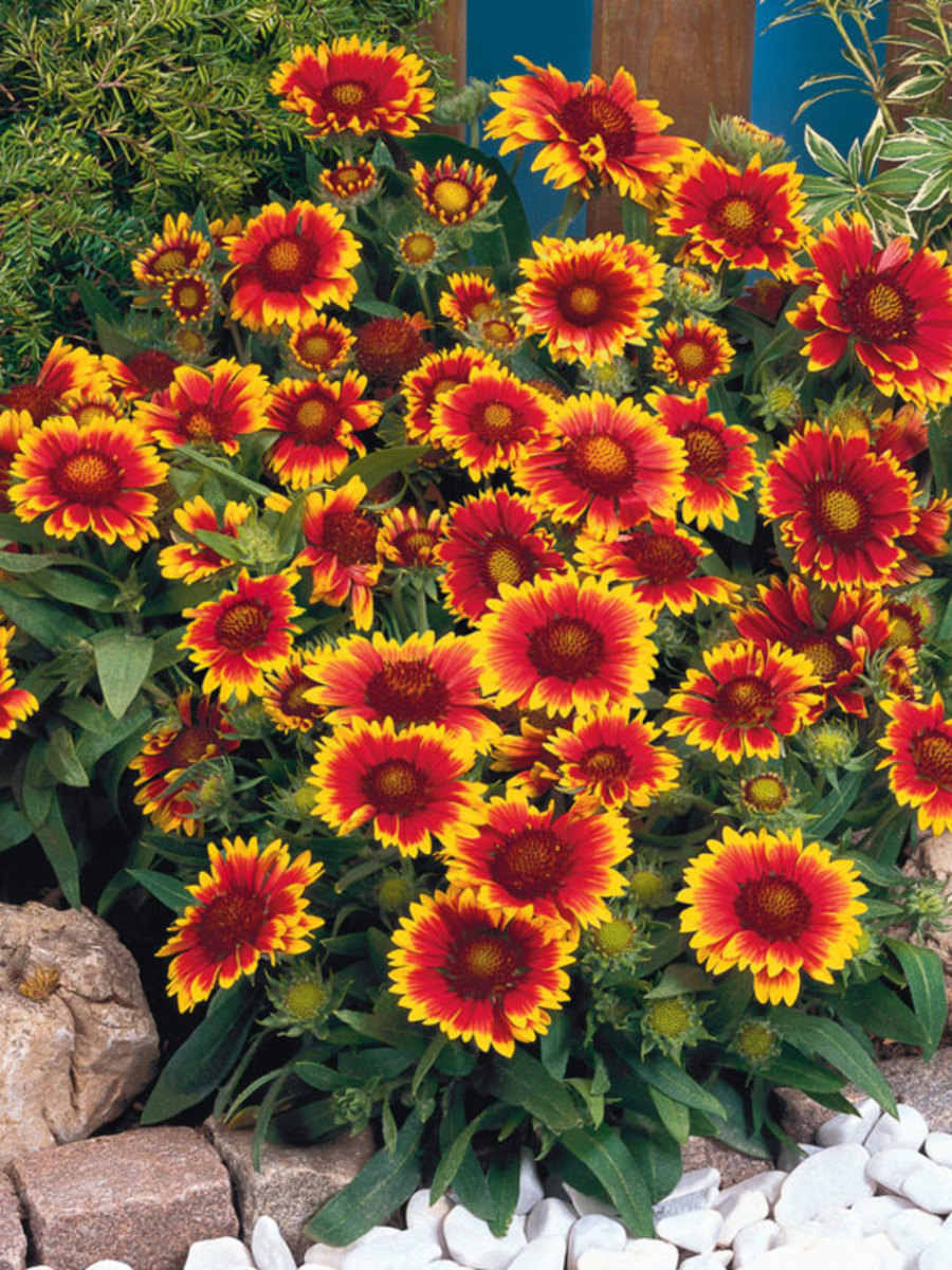This plant blooms approx 100 and more flowers at one time. It requires less watering and is available in 4 to 5 colors.