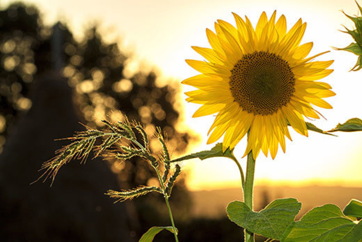 We all know that Sunflower likes the sun and is best grown when sun is at his best i.e in the summer season. However only a few of us know about the varieties of sunflowers that we can grow in our garden.