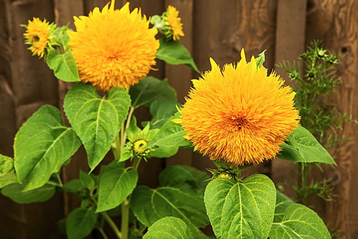 Sunflower 'Teddy Bear' is a short, bushy plant with fluffy, golden-yellow blooms Mature size of Teddy Bear sunflower plants is 4 to 5 feet