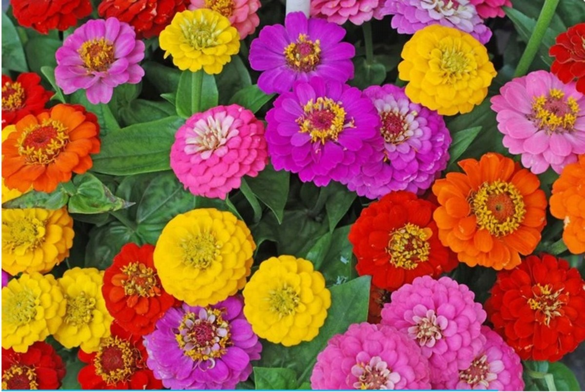 This Plant of zinnia grows about 2 ot 2.5 feet talll and yields 20 to 30 flowers. Its better to grow this in soil.