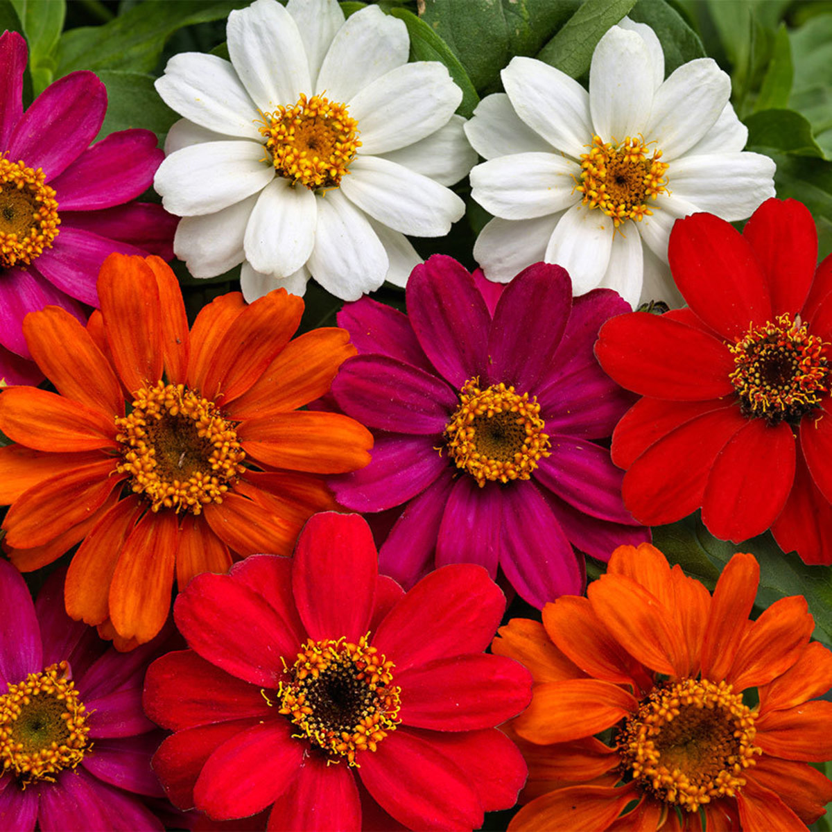 """This Plant of Zinnia can be grown in small plants. It grows about 6"""" in height."""