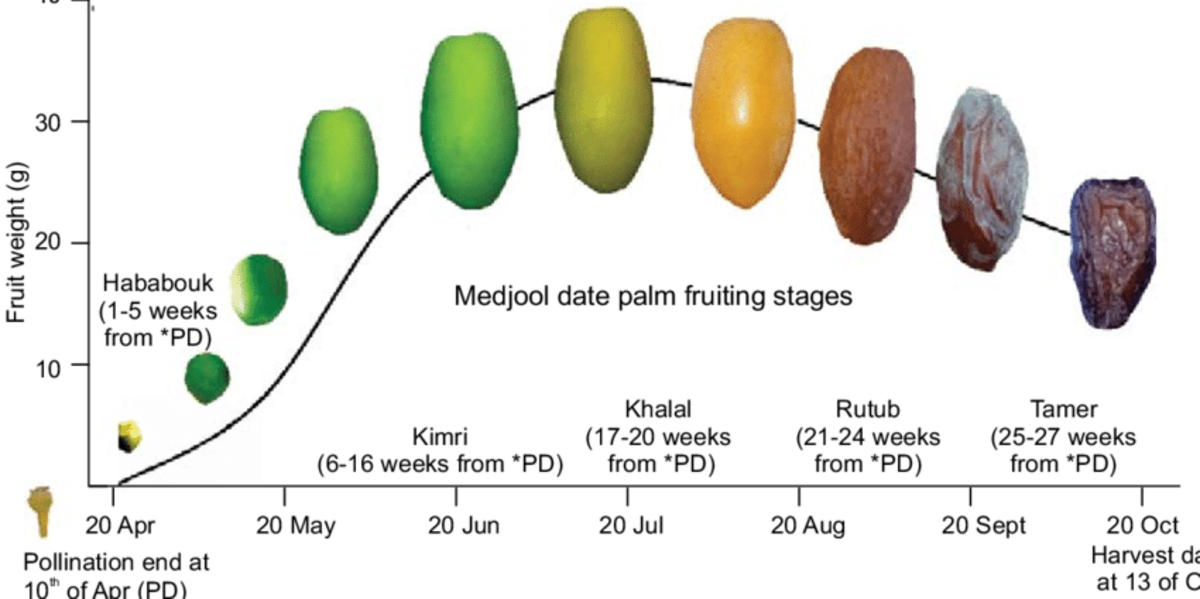 Different Medjool date palm fruiting stages from pollination date (PD) at 10 of April 2017 until harvest date (13 of October 2017) at University of Jordan Research Station. Jordan Valley.