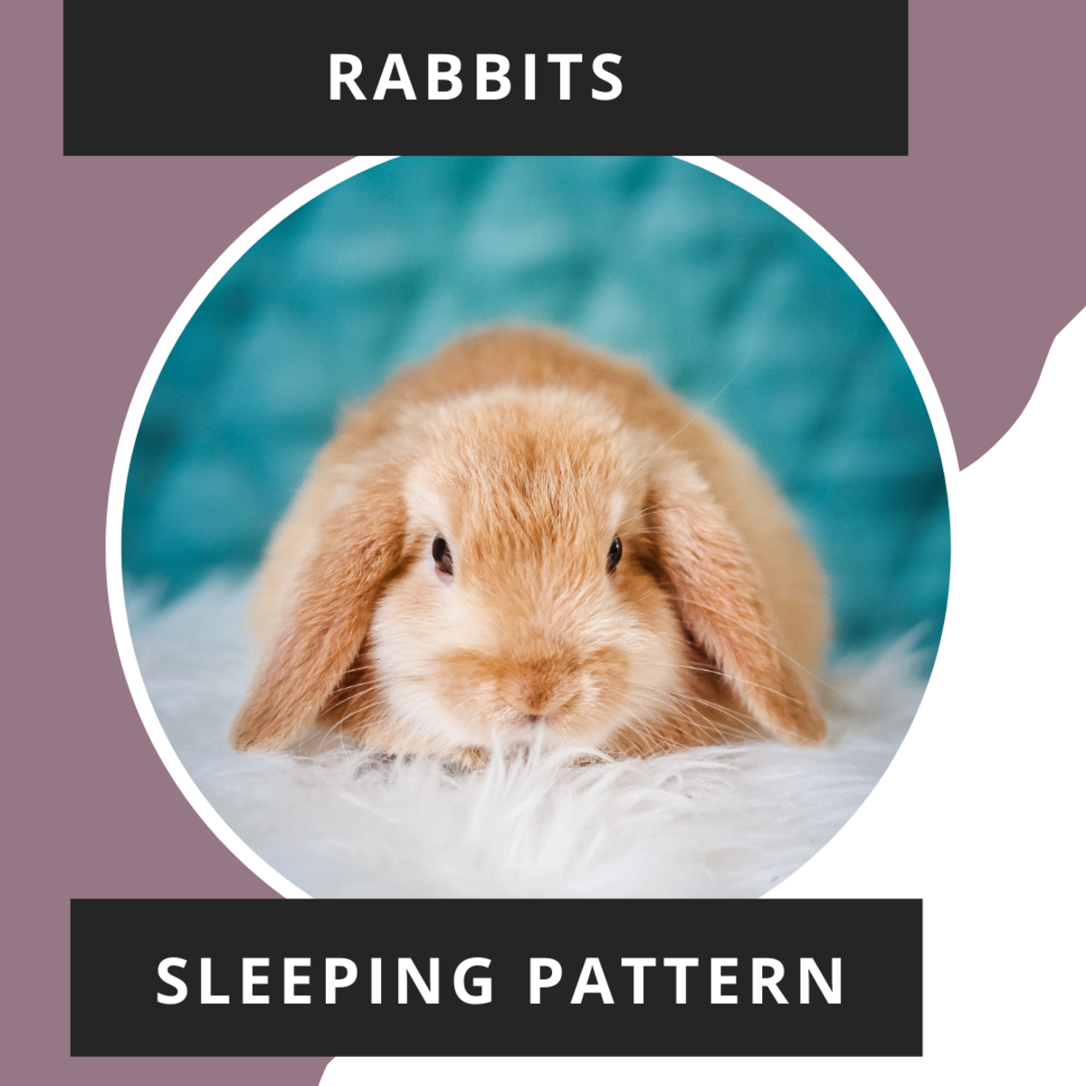 When a rabbit gets tired they have mini naps.