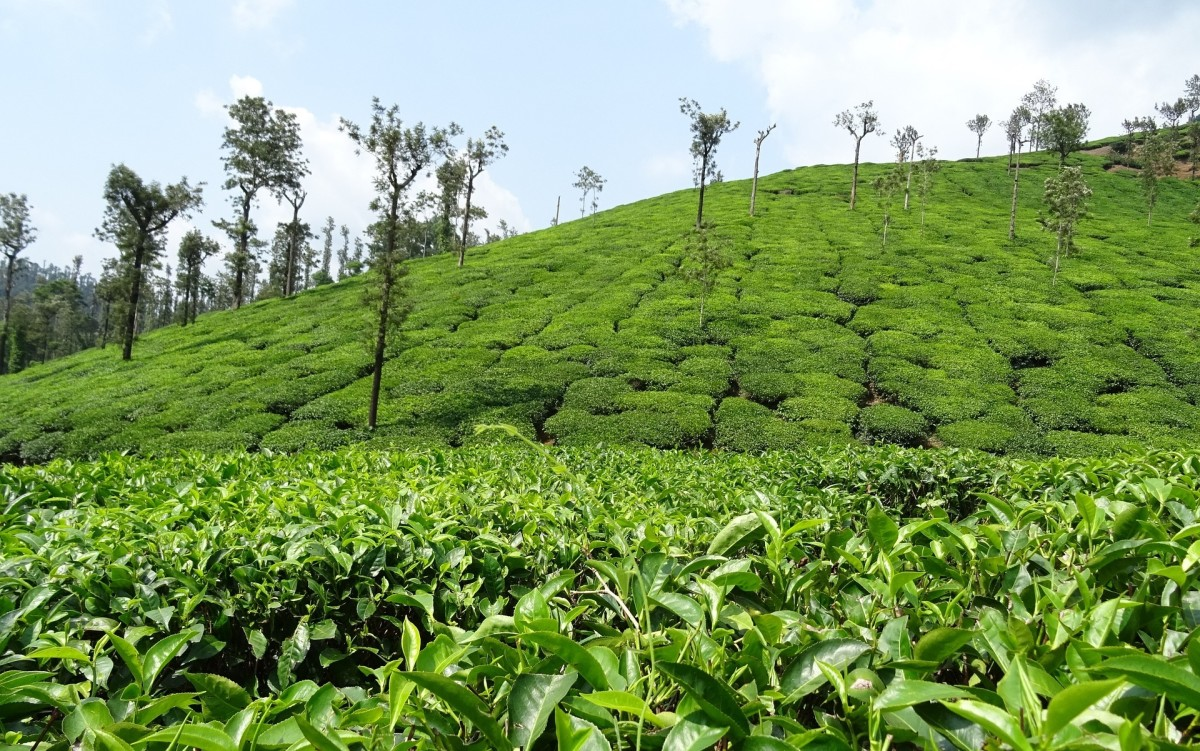 Top 5 Destinations for the Tea Enthusiast in Sri Lanka