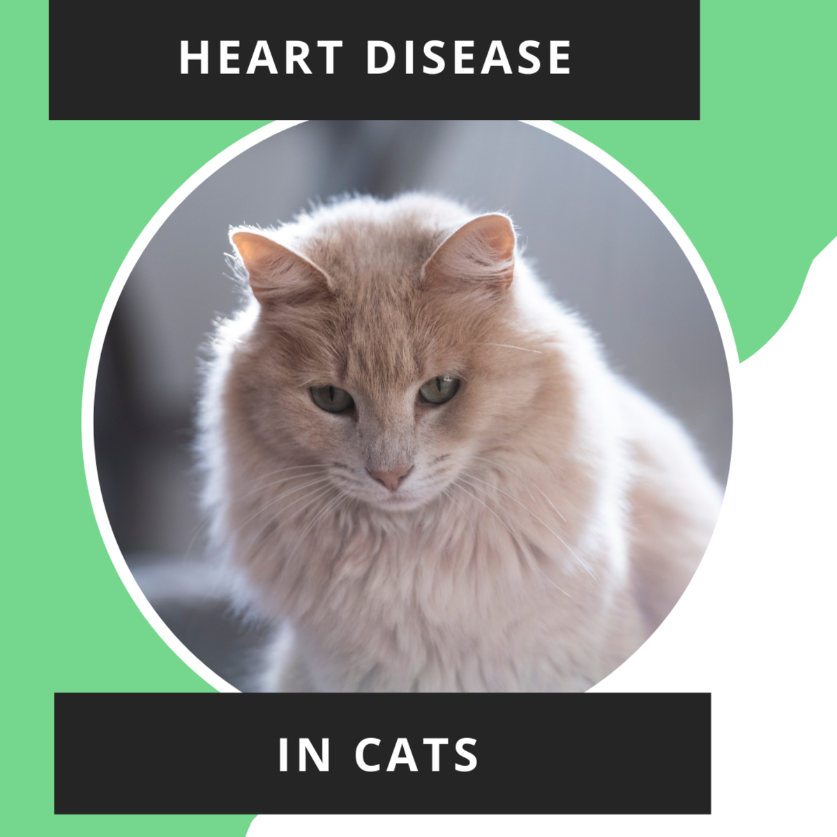 Signs and Causes of Heart Disease in Cats