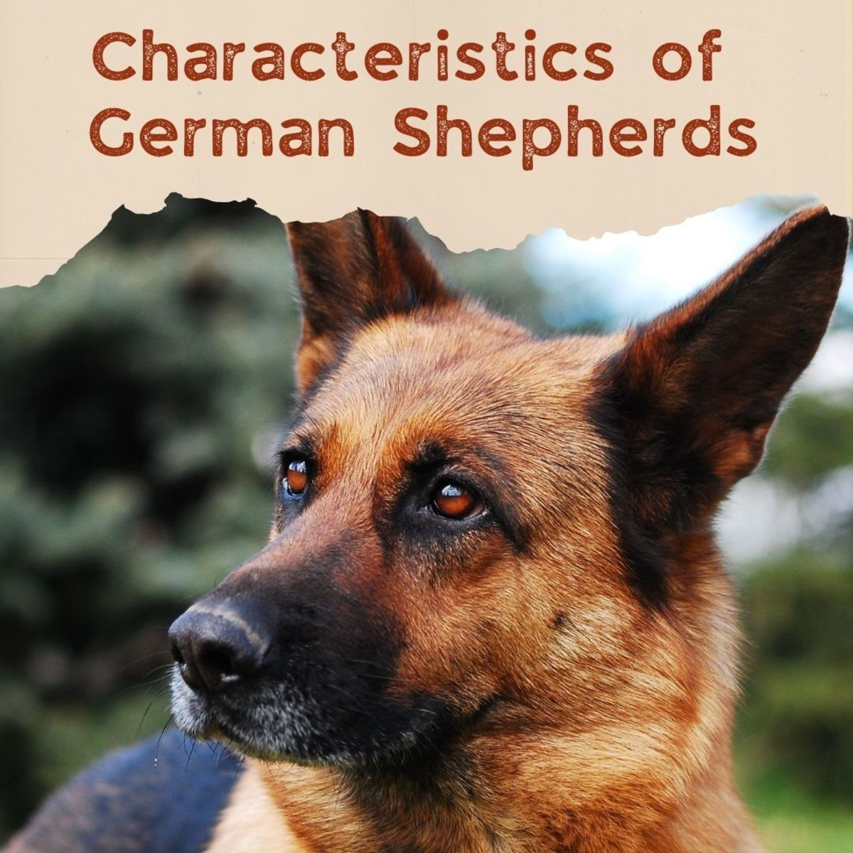 What are the characteristics of the German Shepherd breed?