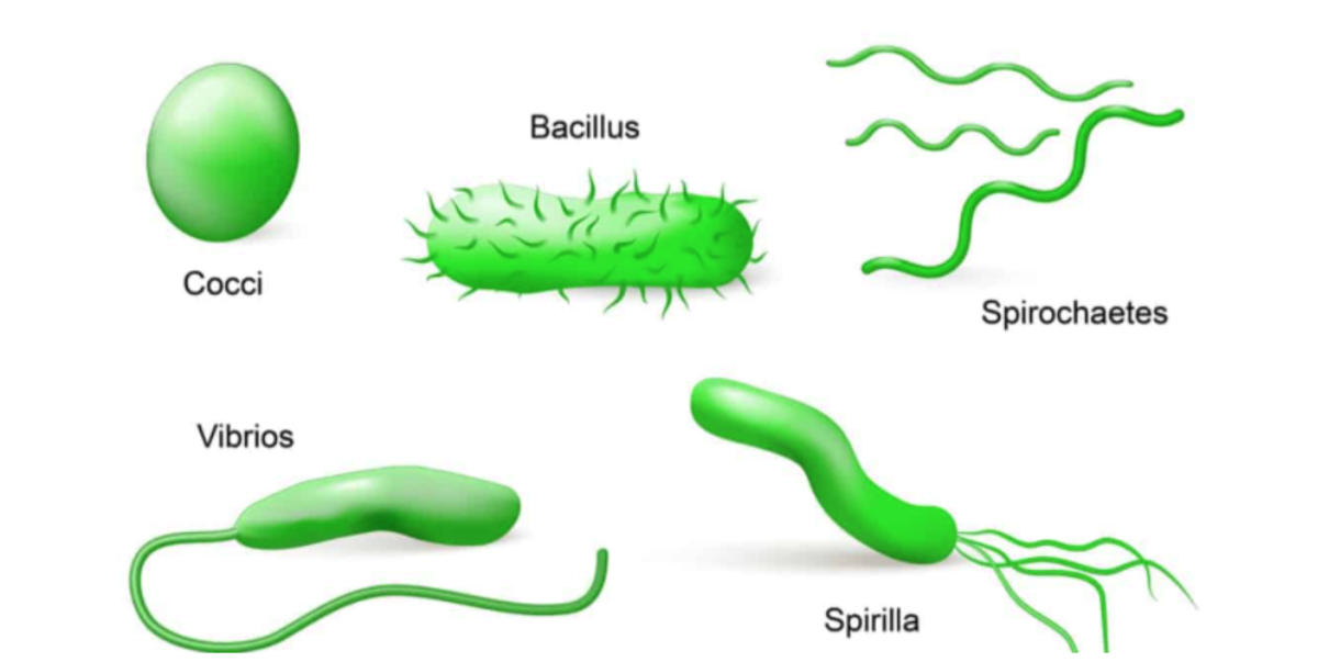 Before DNA sequencing, scientists classified bacteria by shape and biochemical properties.