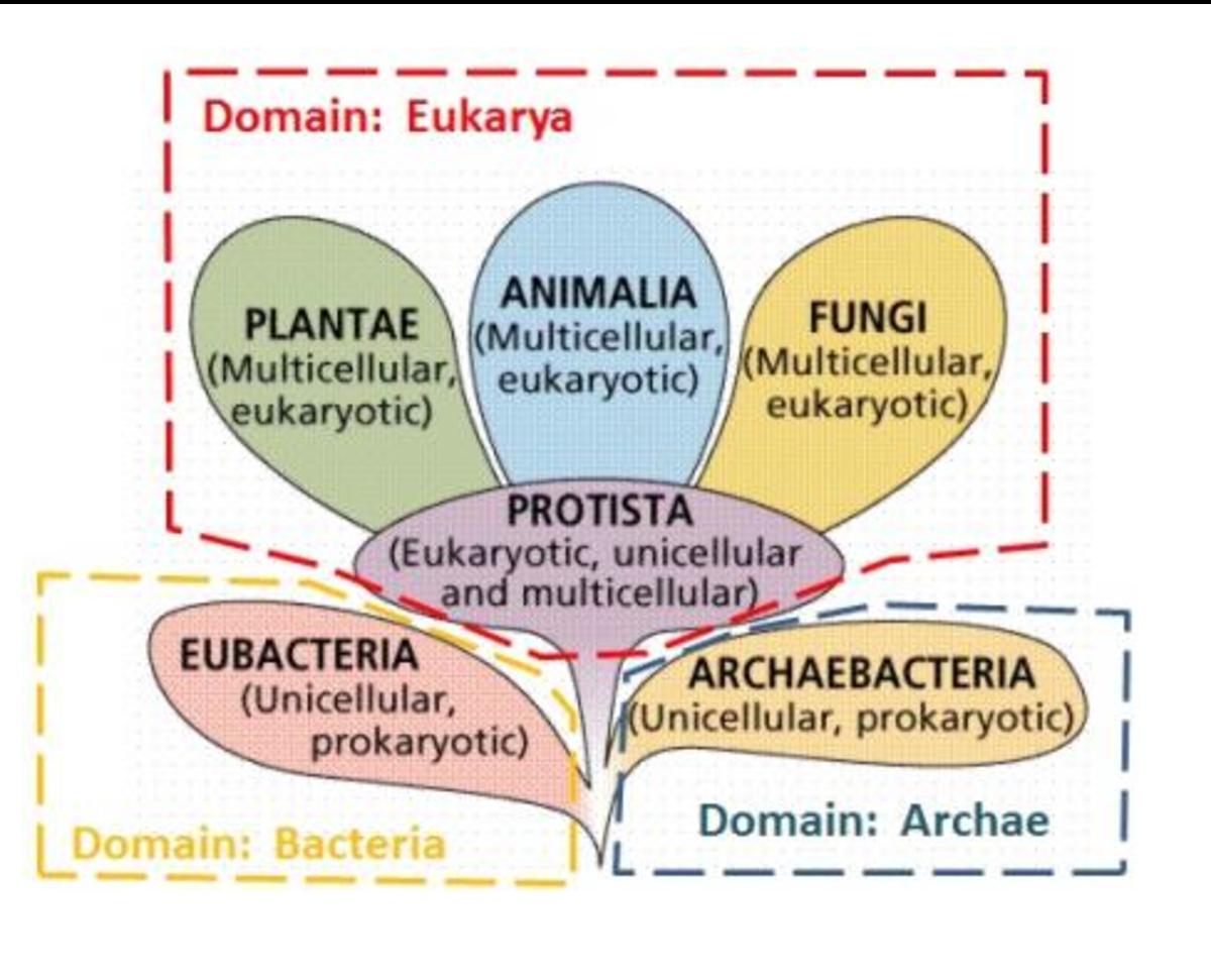 """There are six kingdoms: Animalia, Plantae, Fungi, Protista, Archaea, and Bacteria. Protozoa are in the """"kingdom"""" of Protista."""